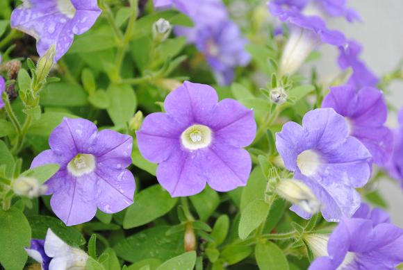 Petunia(s).jpg